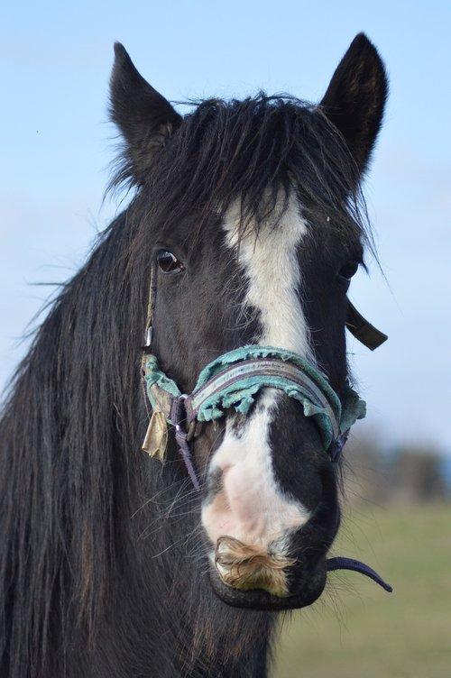 horse  portrait  moustache