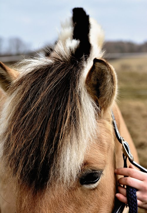 horse  mane  norwegian fjord horse