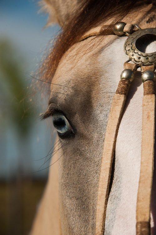 horse  pingo  creole