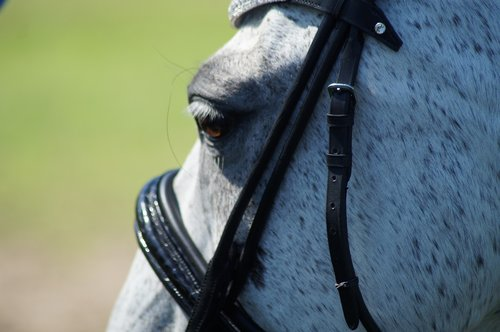 horse  bridle  dressage