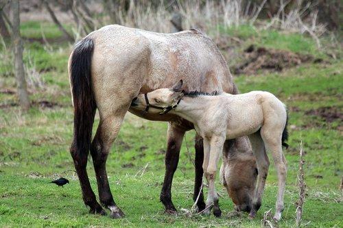 horse  nursing  mammal