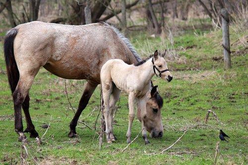horse  nursing  animal