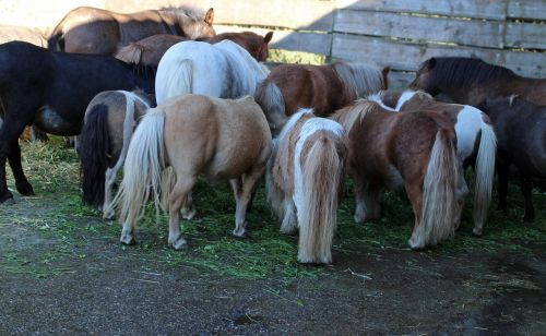 horse ponies together