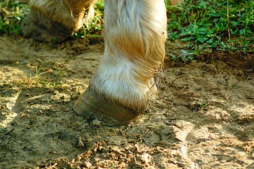 horse clogs paw