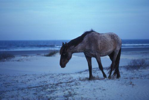 horse wild seashore