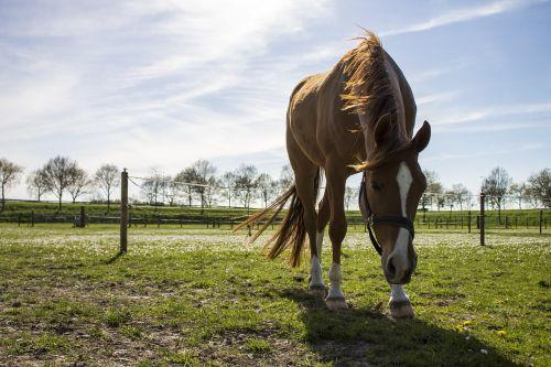 arklys, pavasaris, ruda, mėlynas dangus, snukis, žolė, oras, mėlynas, vaizdas, debesys, saulė, dangus, arkliai, gyvūnas, gyvūnai, galva, ausis, mėlynas dangus, pieva, medžiai, žalias, aiškus mėlynas dangus, kraštovaizdis, gamta, dangus, žinduolis, eržilas