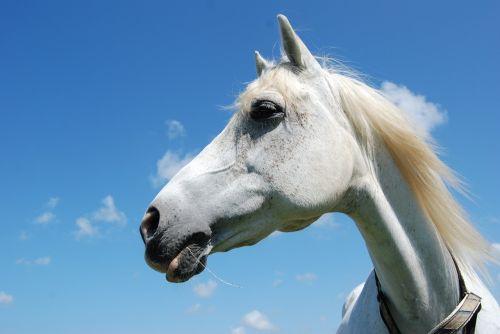 horse arabs portrait