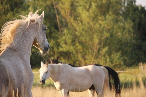 horse pasture thoroughbred arabian