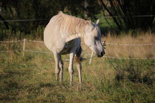 horse thoroughbred arabian pasture
