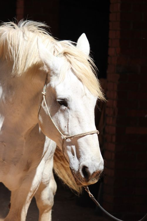 horse percheron shadows