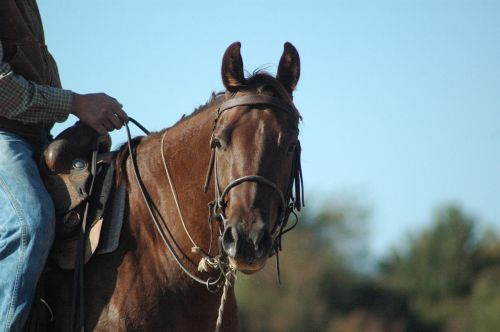 horse bridle horse riding