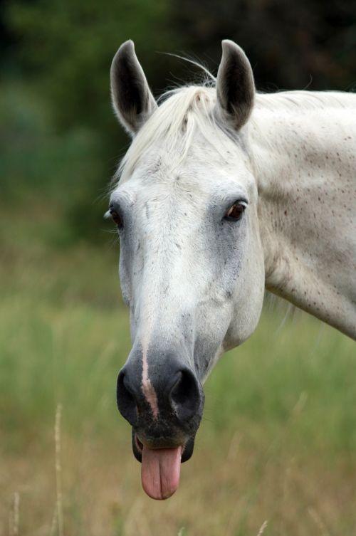 horse tongue poking