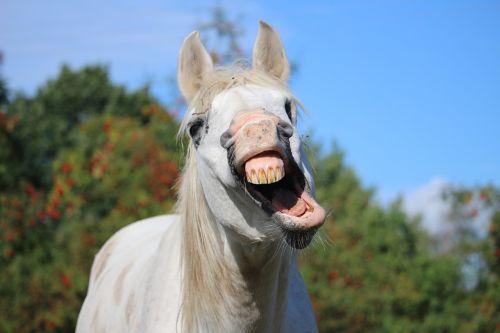 horse stallion yawn