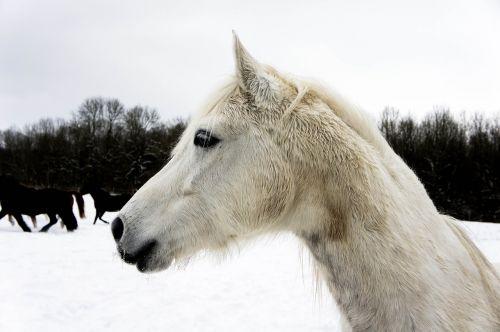 horse head snow