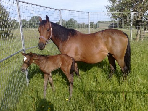 horse and foal field mare
