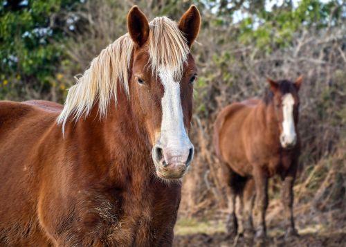 horse breton equine animal