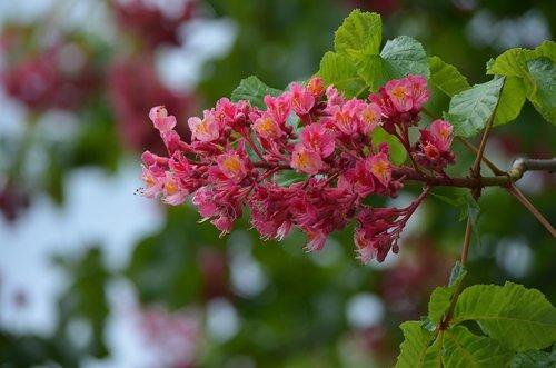 horse chestnut  flower  horse-chestnut