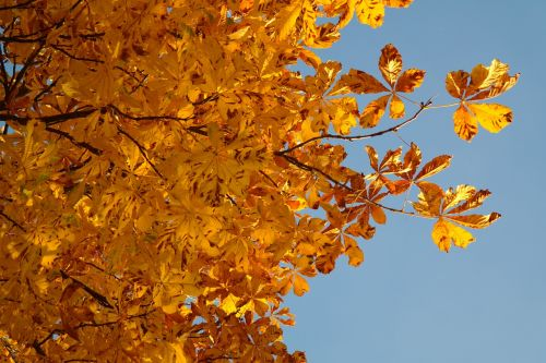 horse chestnut leaves fall leaves gold