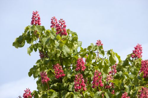 Horse Chestnut Tree Flowers