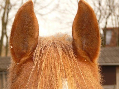 horse ears ears horse