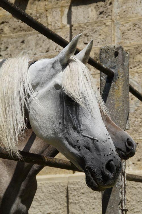 horse head mare mold