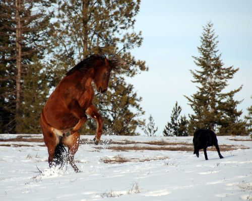 horse rearing equine strong