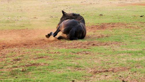 Horse Rolling In Dust
