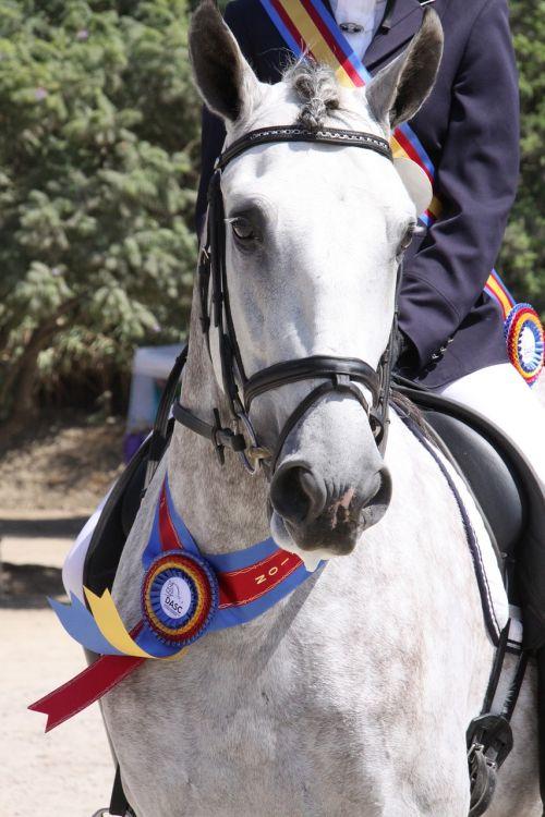 horse show gray stallion white horse