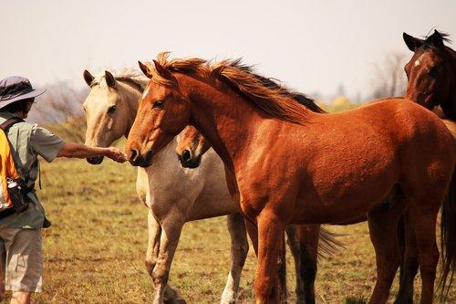 horse with hiker  horses  beautiful