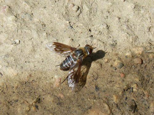 horsefly botfly sting