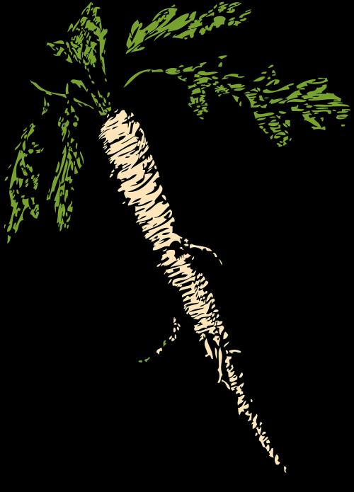 horseradish root vegetable