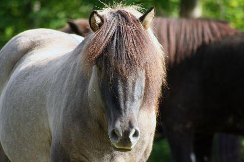 arkliai,iceland,Islandijos žirgai,maži arkliukai,islandų salos