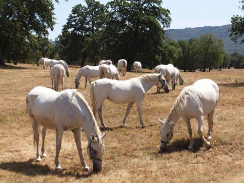 arkliai,balta,baltas žirgas,laukas,gamta,geras žvilgsnis,arkliai