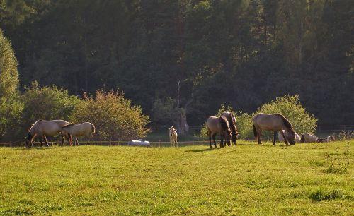 horses as the undomesticated tarpan mite