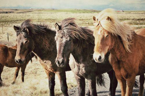 horses iceland horses iceland