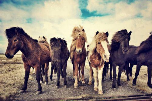 arkliai,Islandijos žirgai,Islandijos arklys,icelandic,laukas,žinduolis,kaimas,ganykla,natūralus,gyvūnas,portretas,šiaurinis,dykuma,skandinaviškas,veislė,pieva,ponis,iceland