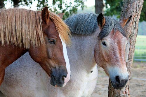 horses pasture kaltblut