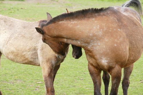 arkliai,jungtis,Draugystė,pora,ganykla,poilsis