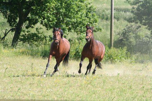 horses trotters gallop