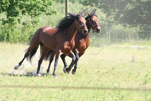 horses gallop trotters