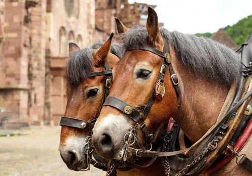 horses animals schwarzwälder kaltblut