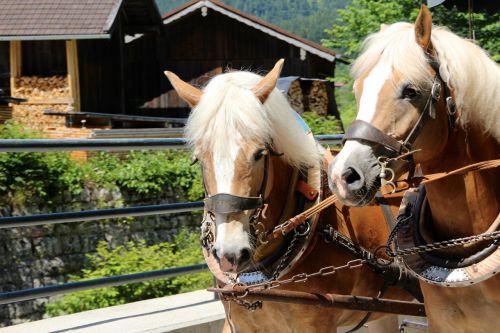 horses draft horses coach