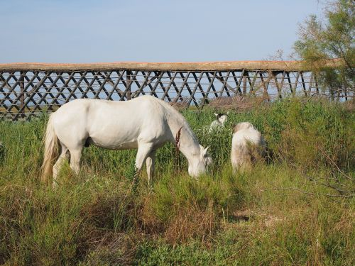 horses wild horses white
