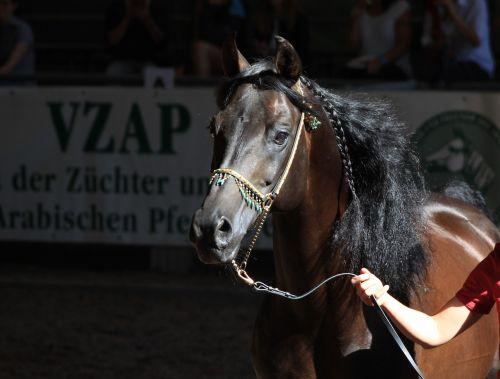 horse arabian horse arabs
