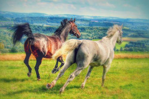 horses gallop meadow