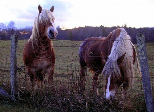 horses belgian horses two horses