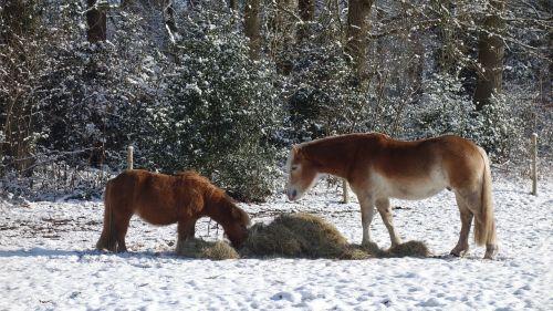 horses winter horse