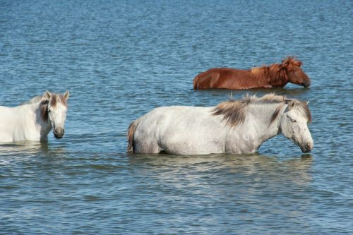 horses lake swimming