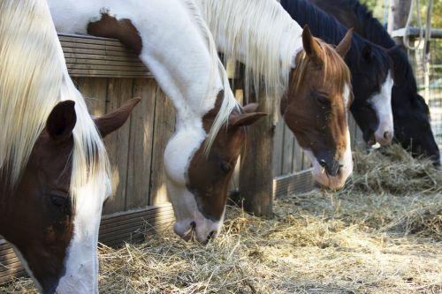 horses animal equestrian