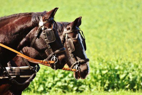 horses coach horse drawn carriage